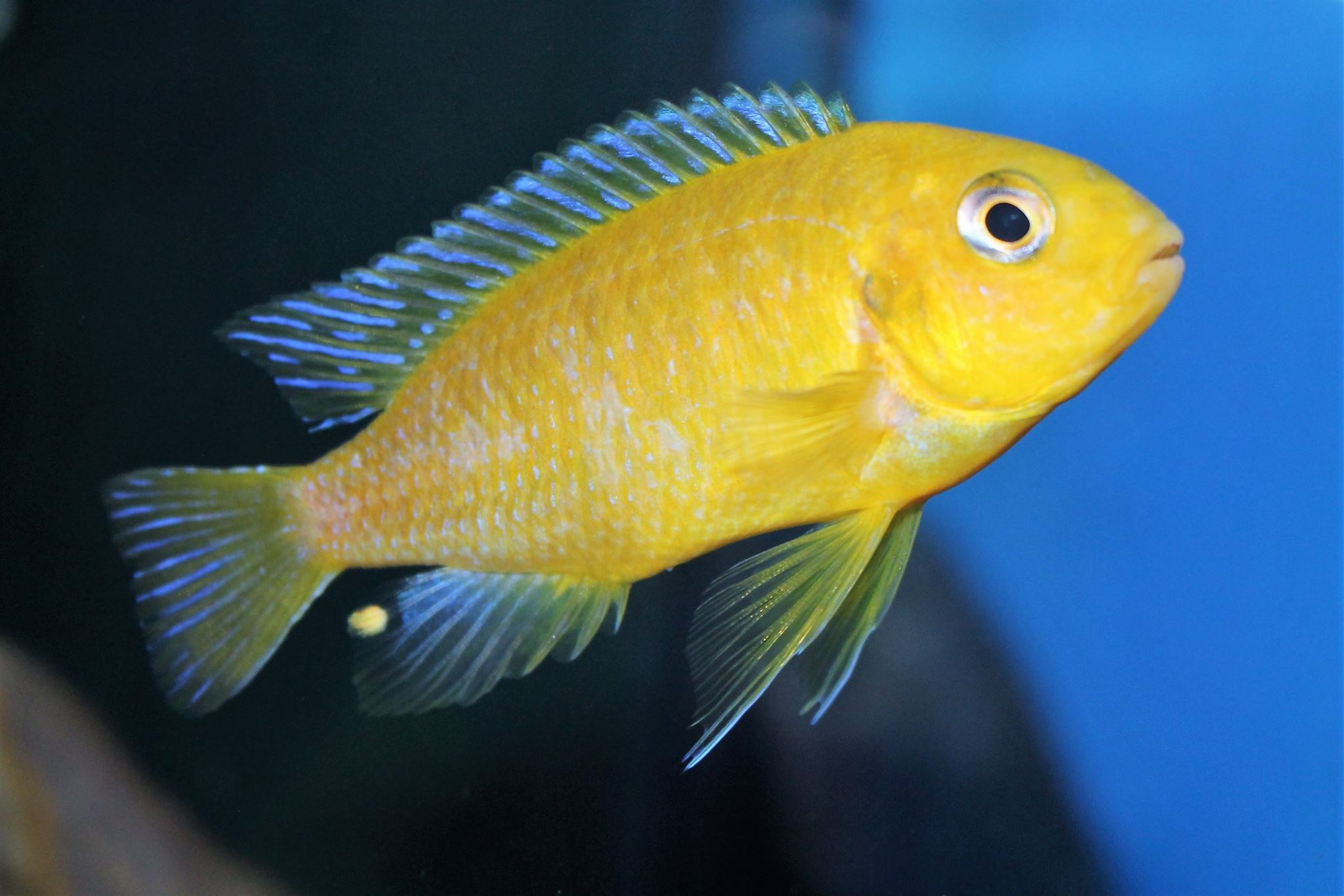 Tropheops macrophthalmus chitimba gold Mnnchen   Jan Steger