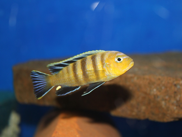 "Cynotilapia sp. ""lion"""