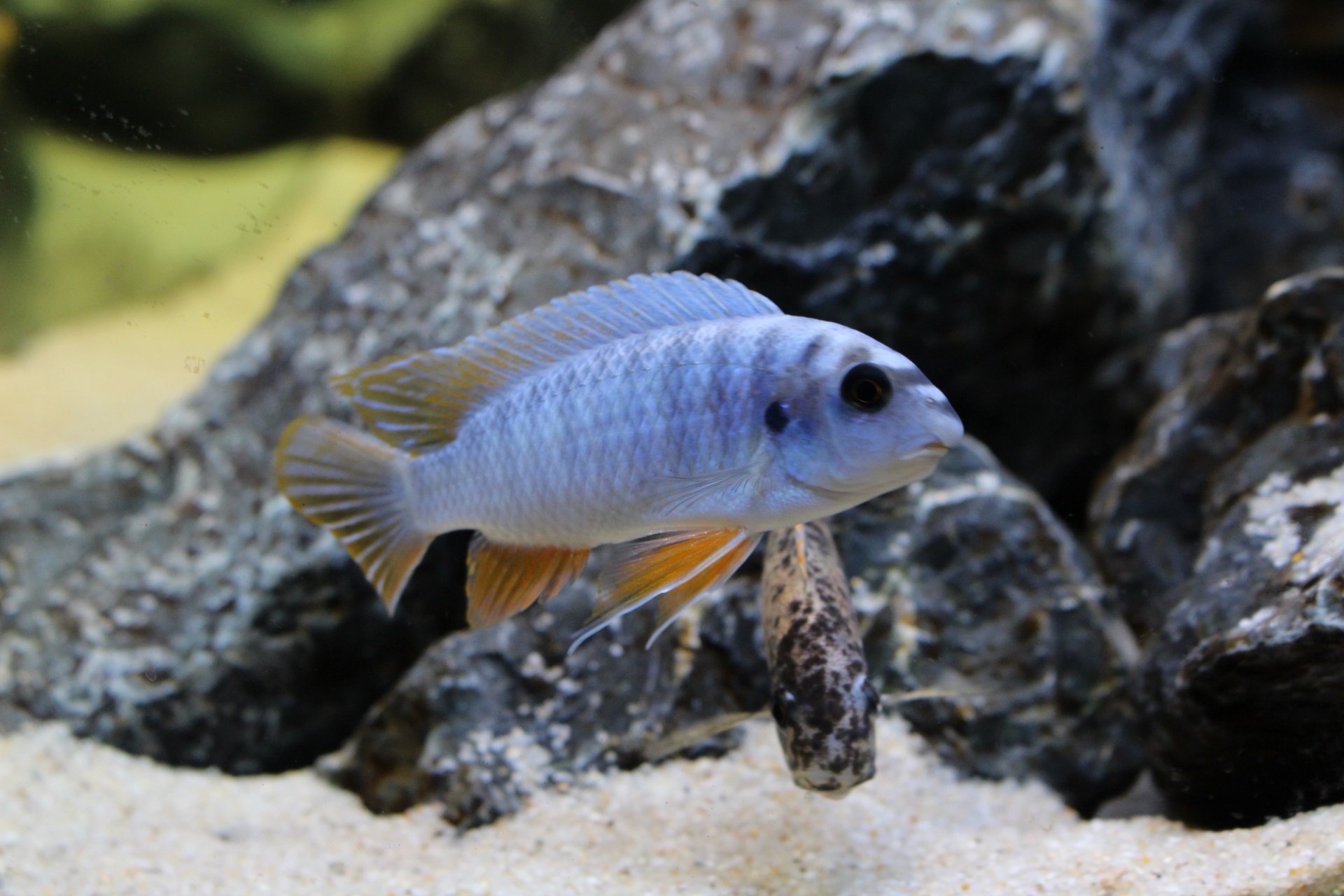"Labeotropheus fuelleborni ""thumbi west"""