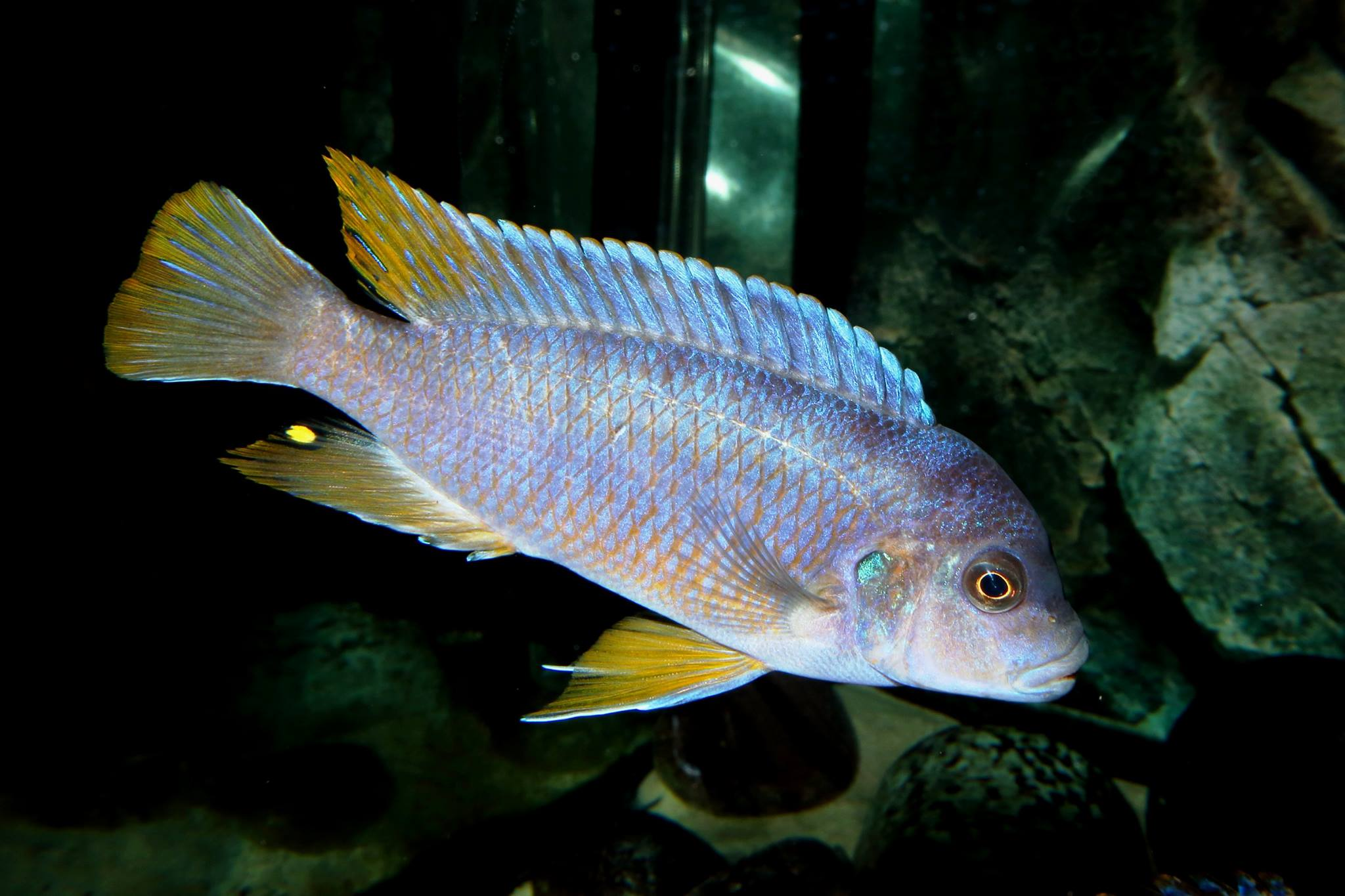 "Pseudotropheus sp. ""aggressive yellow fin"""