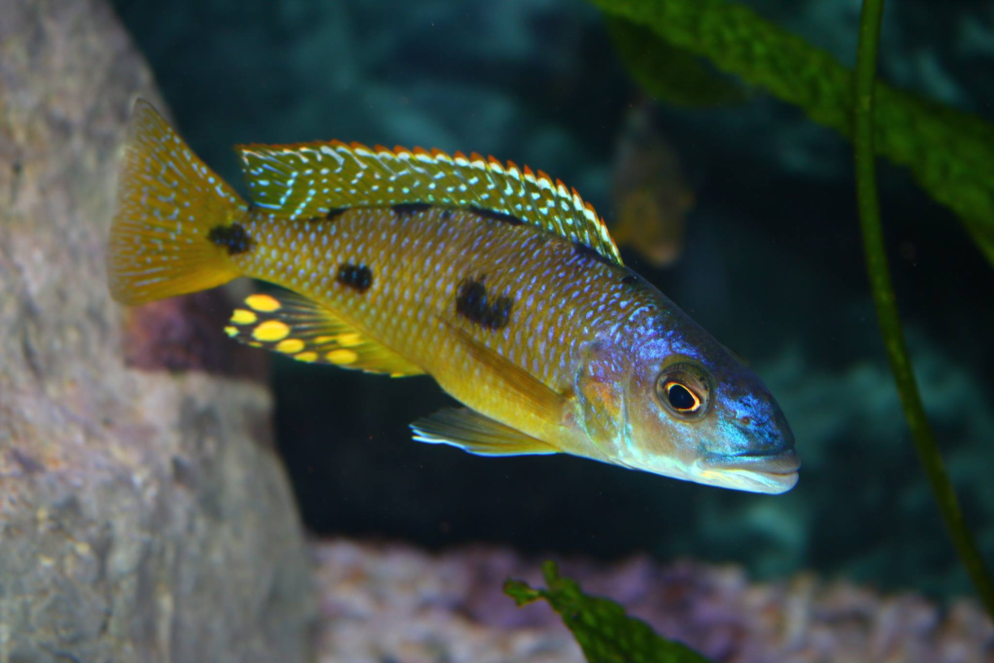 Exochochromis anagenys Mnnchen   Toni Wagner 1