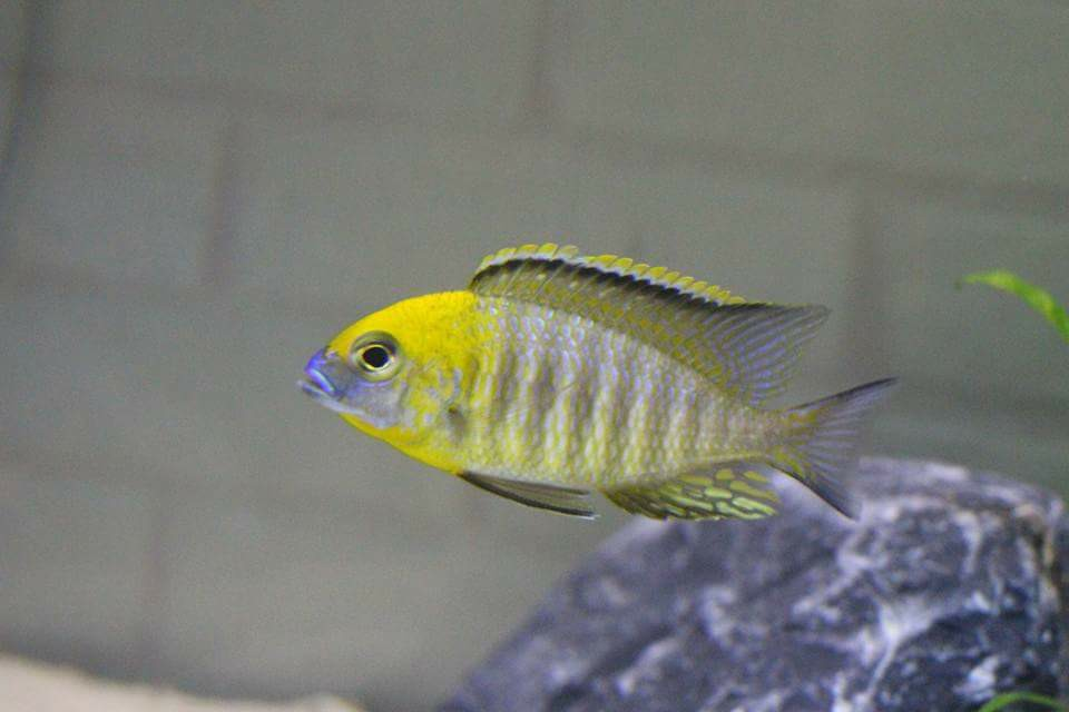 "Lethrinops sp. ""yellow collar"""